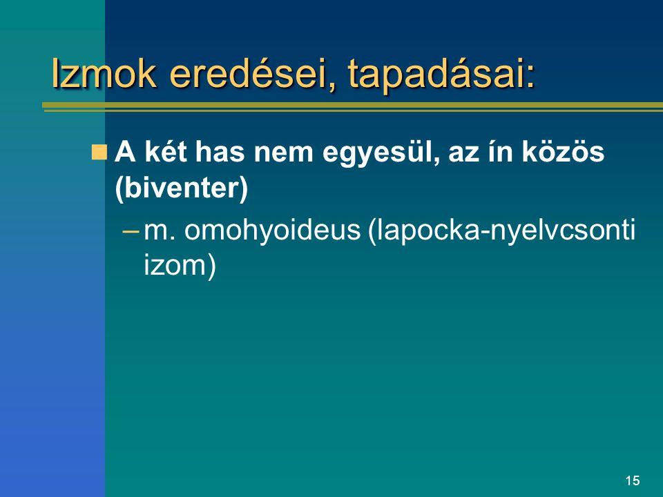 15 Izmok eredései, tapadásai: A két has nem egyesül, az ín közös (biventer) –m. omohyoideus (lapocka-nyelvcsonti izom)