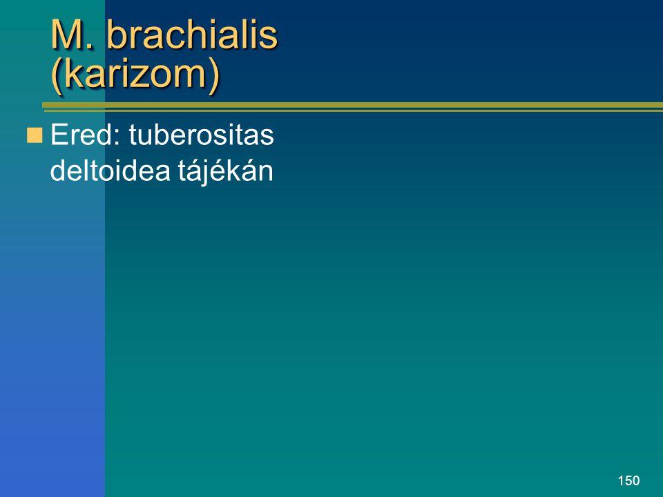 150 M. brachialis (karizom) Ered: tuberositas deltoidea tájékán