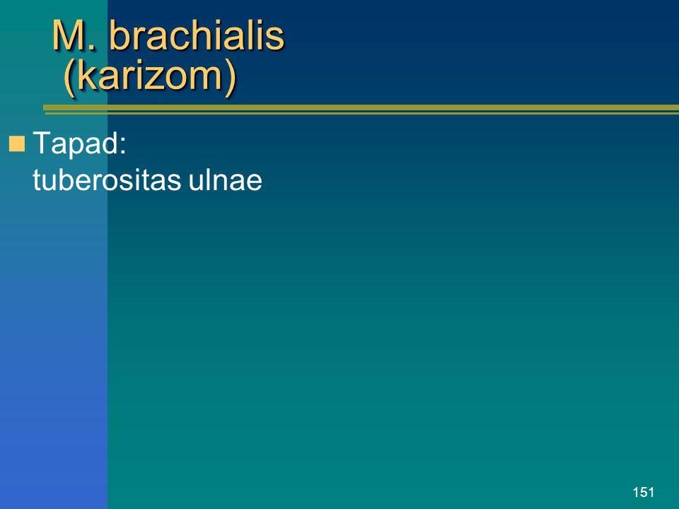 151 M. brachialis (karizom) Tapad: tuberositas ulnae