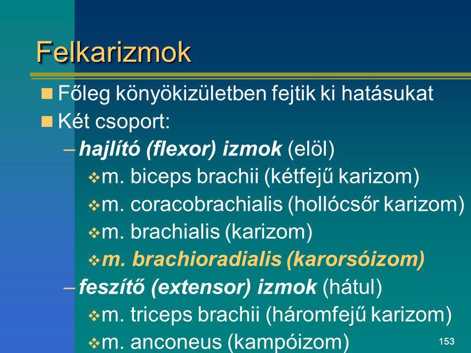 153 FelkarizmokFelkarizmok Főleg könyökizületben fejtik ki hatásukat Két csoport: –hajlító (flexor) izmok (elöl)  m. biceps brachii (kétfejű karizom)