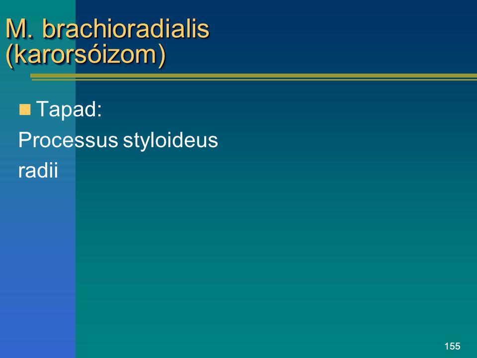 155 M. brachioradialis (karorsóizom) Tapad: Processus styloideus radii