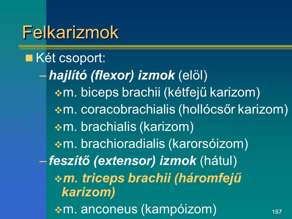 157 FelkarizmokFelkarizmok Két csoport: –hajlító (flexor) izmok (elöl)  m. biceps brachii (kétfejű karizom)  m. coracobrachialis (hollócsőr karizom)