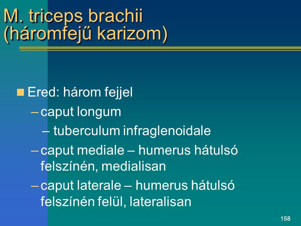 158 M. triceps brachii (háromfejű karizom) Ered: három fejjel –caput longum – tuberculum infraglenoidale –caput mediale – humerus hátulsó felszínén, m