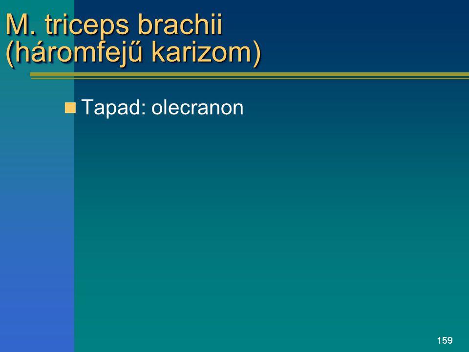 159 M. triceps brachii (háromfejű karizom) Tapad: olecranon