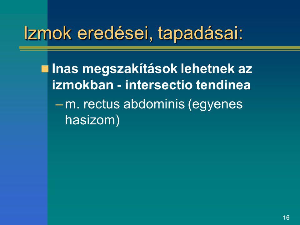 16 Izmok eredései, tapadásai: Inas megszakítások lehetnek az izmokban - intersectio tendinea –m. rectus abdominis (egyenes hasizom)