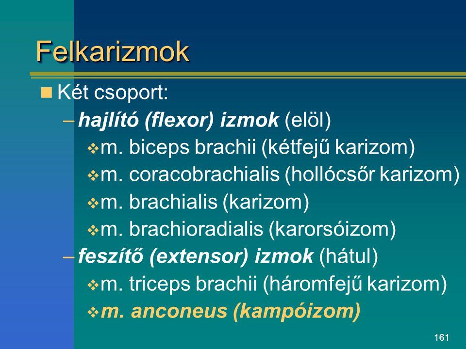 161 FelkarizmokFelkarizmok Két csoport: –hajlító (flexor) izmok (elöl)  m. biceps brachii (kétfejű karizom)  m. coracobrachialis (hollócsőr karizom)