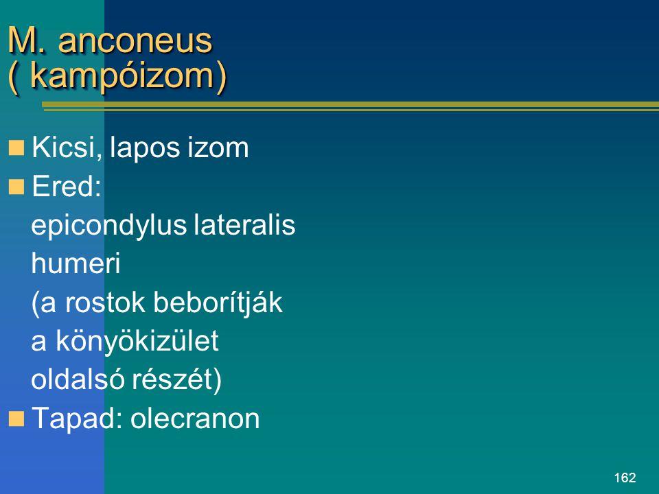 162 M. anconeus ( kampóizom) Kicsi, lapos izom Ered: epicondylus lateralis humeri (a rostok beborítják a könyökizület oldalsó részét) Tapad: olecranon