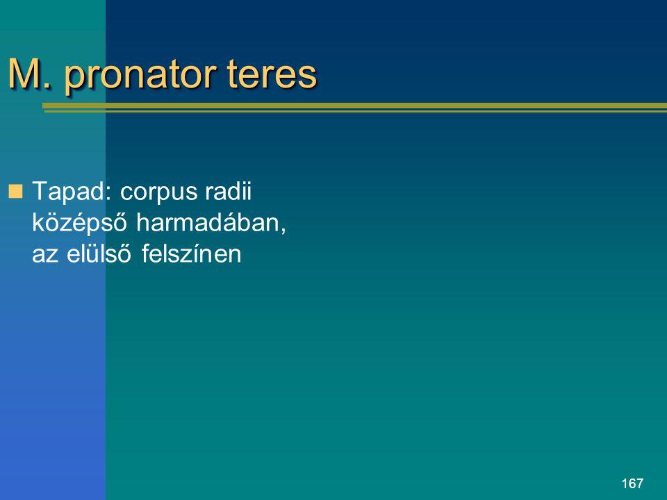 167 M. pronator teres Tapad: corpus radii középső harmadában, az elülső felszínen
