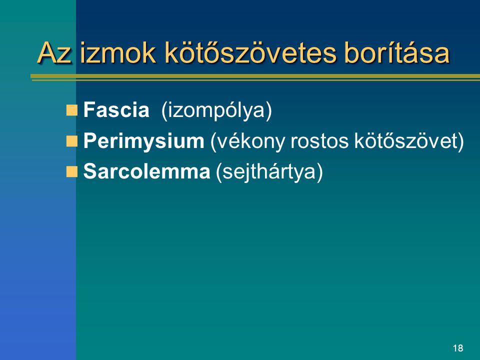 18 Az izmok kötőszövetes borítása Fascia (izompólya) Perimysium (vékony rostos kötőszövet) Sarcolemma (sejthártya)