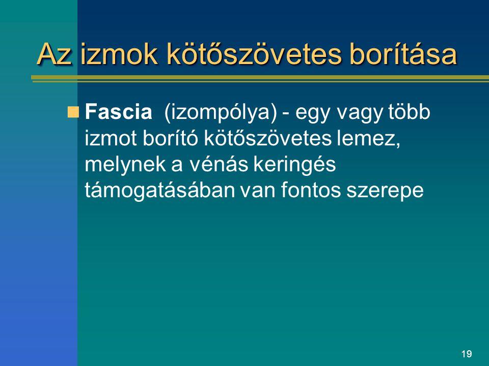 19 Az izmok kötőszövetes borítása Fascia (izompólya) - egy vagy több izmot borító kötőszövetes lemez, melynek a vénás keringés támogatásában van fonto