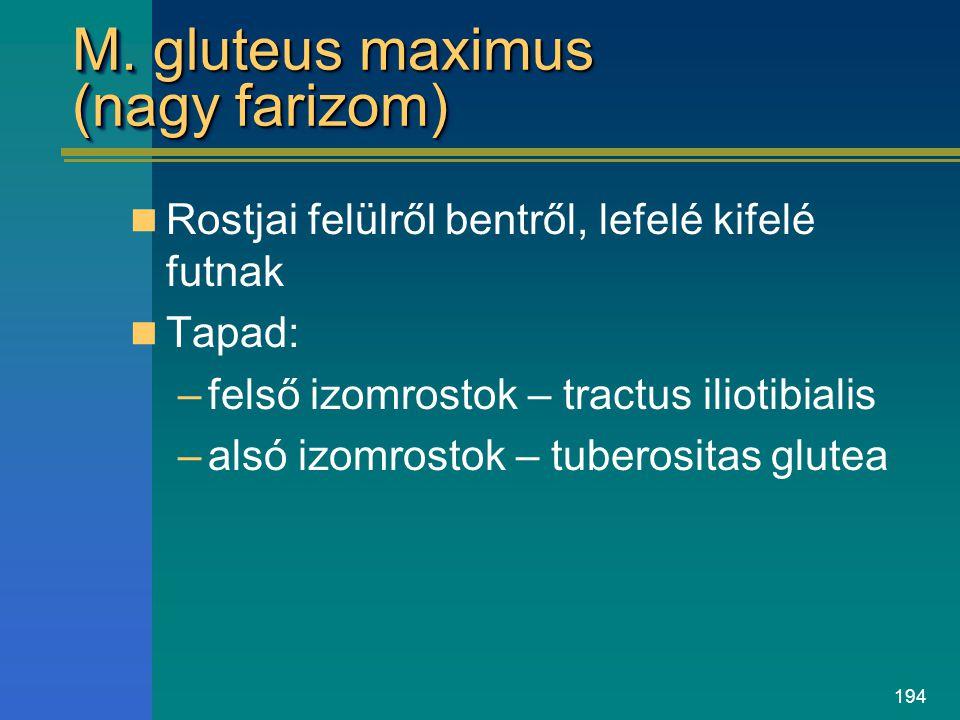 194 M. gluteus maximus (nagy farizom) Rostjai felülről bentről, lefelé kifelé futnak Tapad: –felső izomrostok – tractus iliotibialis –alsó izomrostok