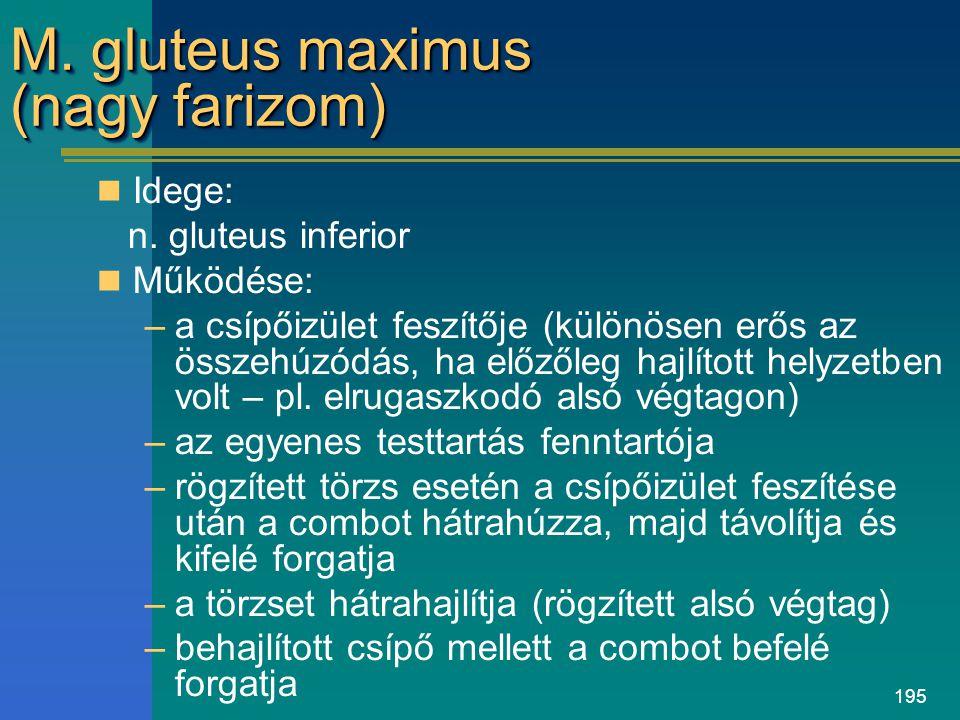 195 M. gluteus maximus (nagy farizom) Idege: n. gluteus inferior Működése: –a csípőizület feszítője (különösen erős az összehúzódás, ha előzőleg hajlí
