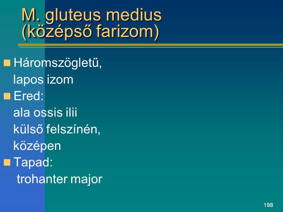 198 M. gluteus medius (középső farizom) Háromszögletű, lapos izom Ered: ala ossis ilii külső felszínén, középen Tapad: trohanter major