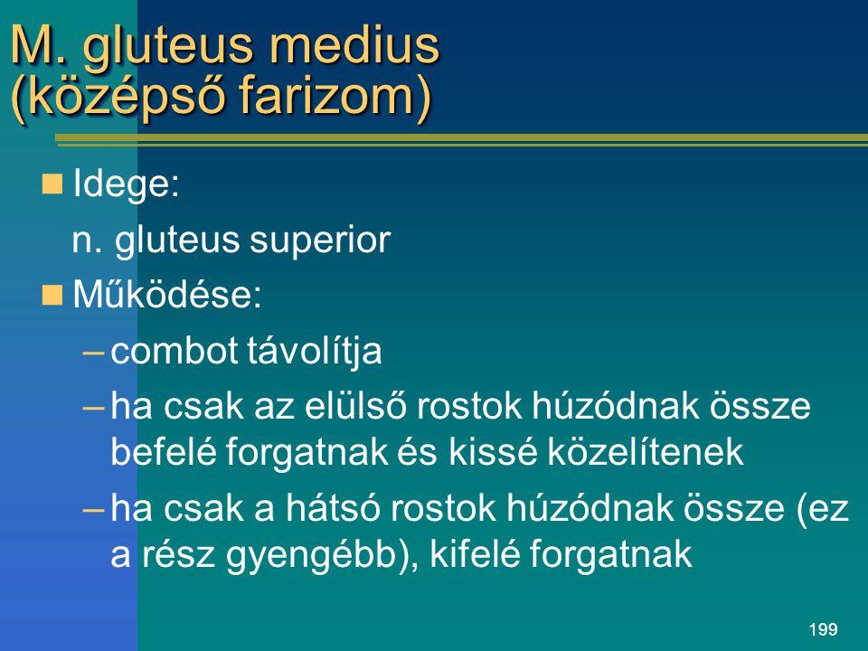 199 M. gluteus medius (középső farizom) Idege: n. gluteus superior Működése: –combot távolítja –ha csak az elülső rostok húzódnak össze befelé forgatn