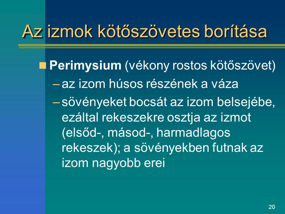20 Az izmok kötőszövetes borítása Perimysium (vékony rostos kötőszövet) –az izom húsos részének a váza –sövényeket bocsát az izom belsejébe, ezáltal r