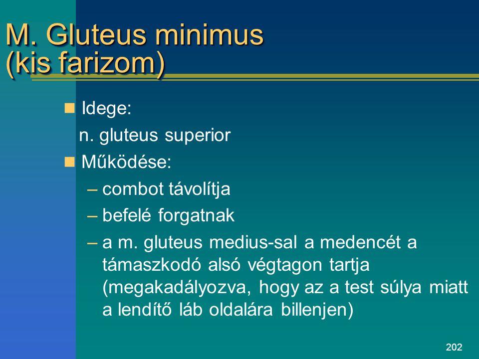 202 M. Gluteus minimus (kis farizom) Idege: n. gluteus superior Működése: –combot távolítja –befelé forgatnak –a m. gluteus medius-sal a medencét a tá