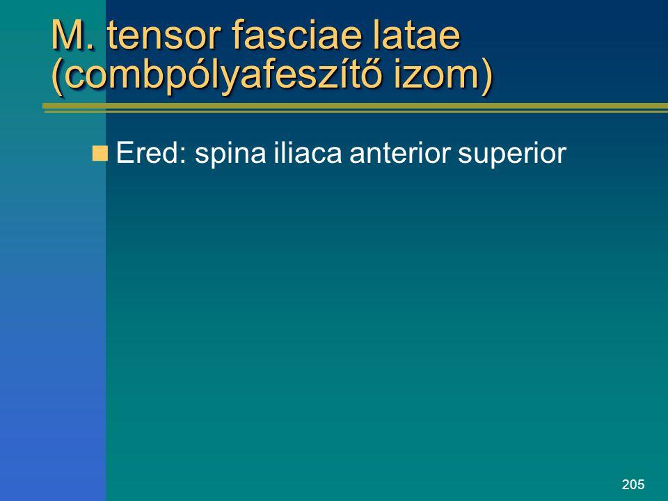 205 M. tensor fasciae latae (combpólyafeszítő izom) Ered: spina iliaca anterior superior