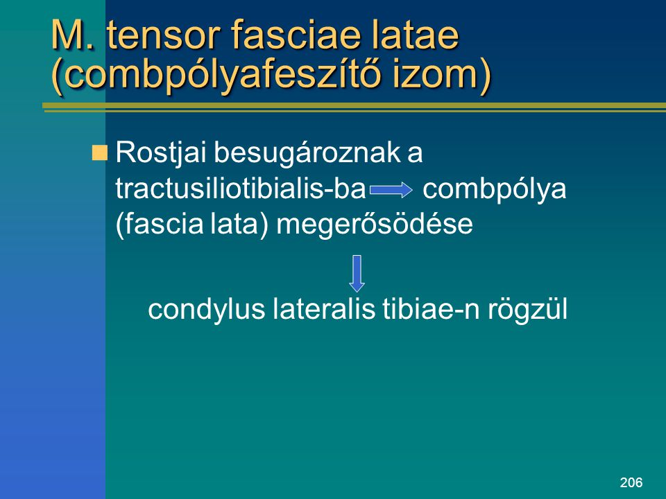 206 M. tensor fasciae latae (combpólyafeszítő izom) Rostjai besugároznak a tractusiliotibialis-ba combpólya (fascia lata) megerősödése condylus latera