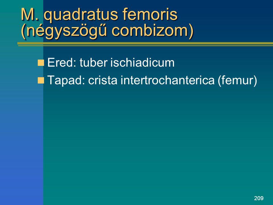 209 M. quadratus femoris (négyszögű combizom) Ered: tuber ischiadicum Tapad: crista intertrochanterica (femur)