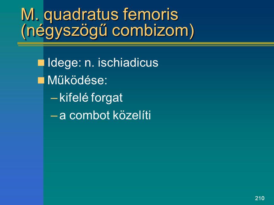 210 M. quadratus femoris (négyszögű combizom) Idege: n. ischiadicus Működése: –kifelé forgat –a combot közelíti