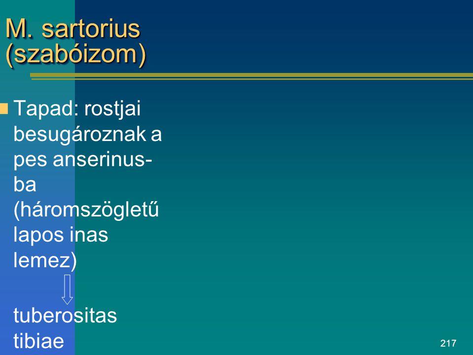 217 M. sartorius (szabóizom) Tapad: rostjai besugároznak a pes anserinus- ba (háromszögletű lapos inas lemez) tuberositas tibiae