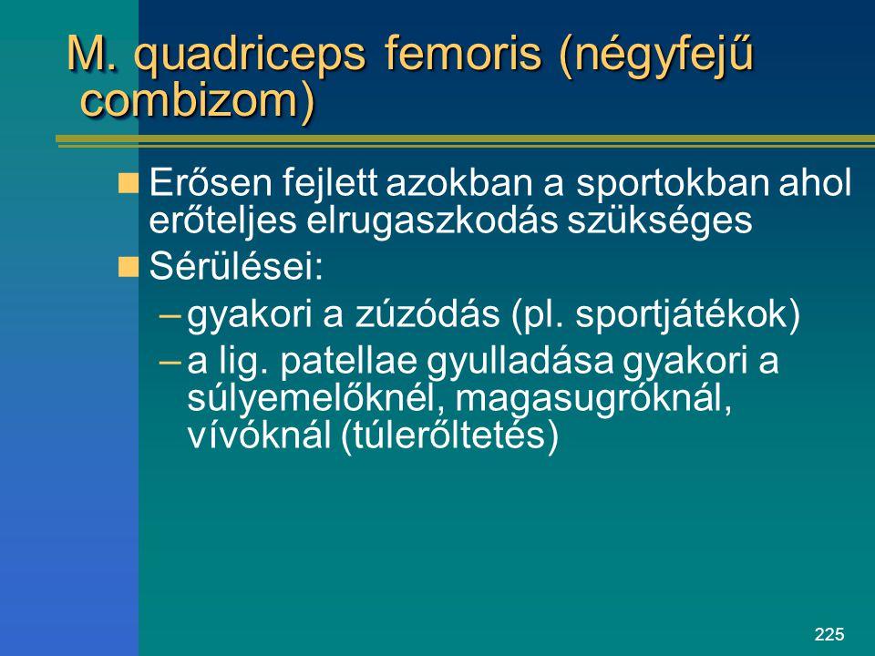 225 M. quadriceps femoris (négyfejű combizom) Erősen fejlett azokban a sportokban ahol erőteljes elrugaszkodás szükséges Sérülései: –gyakori a zúzódás