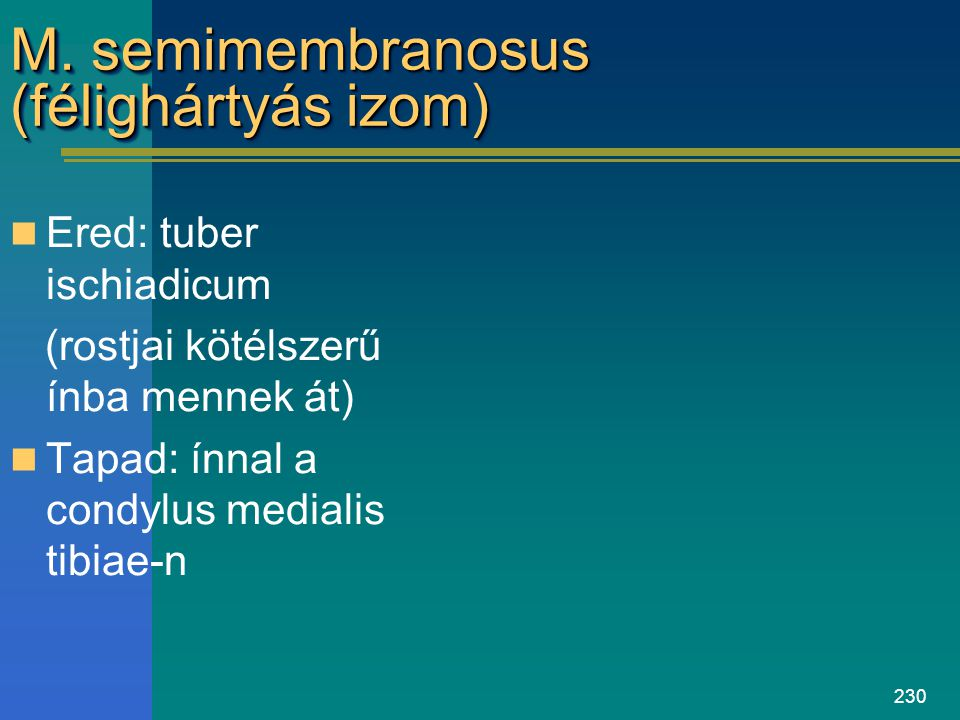 230 M. semimembranosus (félighártyás izom) Ered: tuber ischiadicum (rostjai kötélszerű ínba mennek át) Tapad: ínnal a condylus medialis tibiae-n