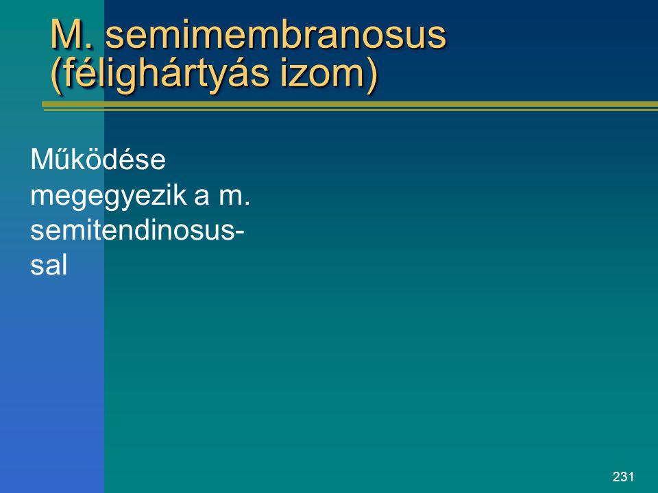 231 M. semimembranosus (félighártyás izom) Működése megegyezik a m. semitendinosus- sal