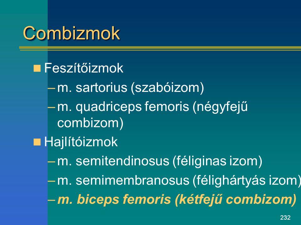 232 CombizmokCombizmok Feszítőizmok –m. sartorius (szabóizom) –m. quadriceps femoris (négyfejű combizom) Hajlítóizmok –m. semitendinosus (féliginas iz