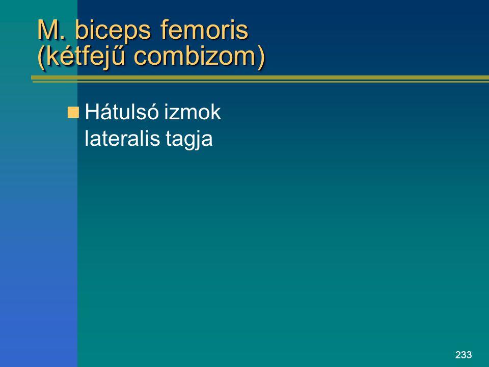 233 M. biceps femoris (kétfejű combizom) Hátulsó izmok lateralis tagja