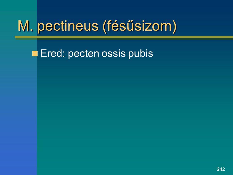 242 M. pectineus (fésűsizom) Ered: pecten ossis pubis