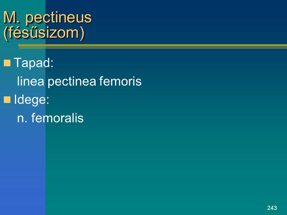 243 M. pectineus (fésűsizom) Tapad: linea pectinea femoris Idege: n. femoralis
