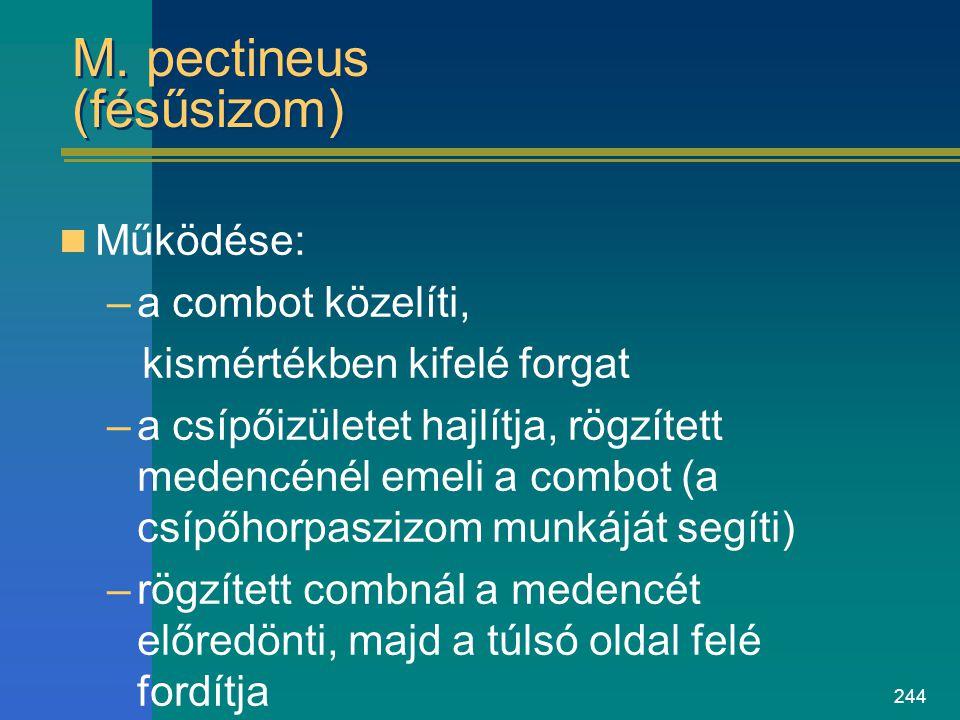 244 M. pectineus (fésűsizom) Működése: –a combot közelíti, kismértékben kifelé forgat –a csípőizületet hajlítja, rögzített medencénél emeli a combot (