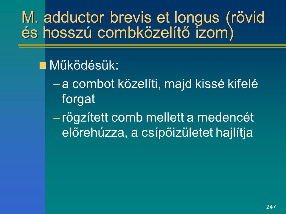 247 M. adductor brevis et longus (rövid és hosszú combközelítő izom) Működésük: –a combot közelíti, majd kissé kifelé forgat –rögzített comb mellett a