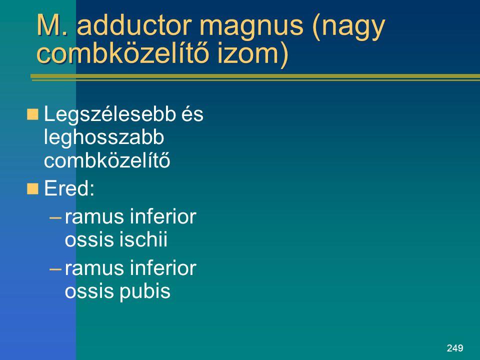 249 M. adductor magnus (nagy combközelítő izom) Legszélesebb és leghosszabb combközelítő Ered: –ramus inferior ossis ischii –ramus inferior ossis pubi
