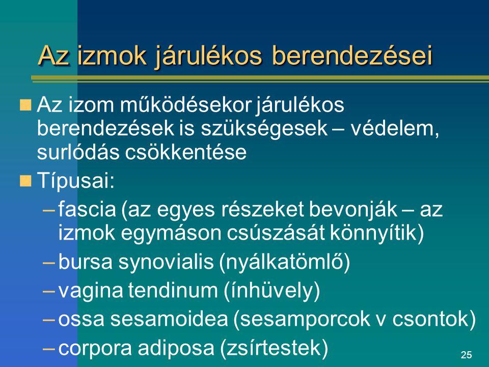 25 Az izmok járulékos berendezései Az izom működésekor járulékos berendezések is szükségesek – védelem, surlódás csökkentése Típusai: –fascia (az egye