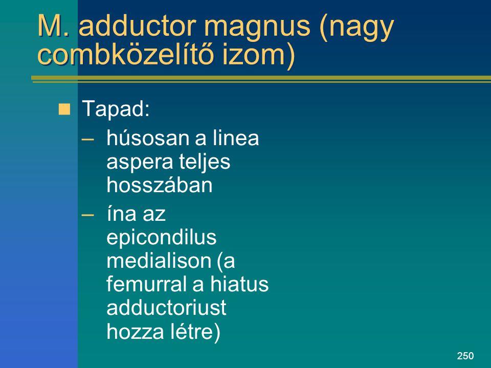 250 M. adductor magnus (nagy combközelítő izom) Tapad: –húsosan a linea aspera teljes hosszában –ína az epicondilus medialison (a femurral a hiatus ad