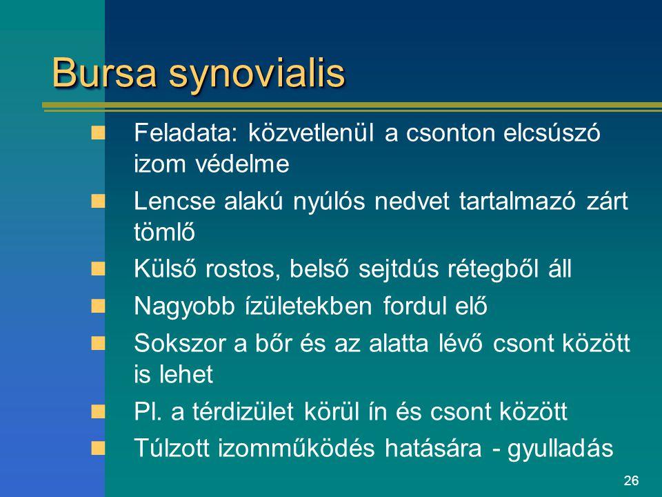 26 Bursa synovialis Feladata: közvetlenül a csonton elcsúszó izom védelme Lencse alakú nyúlós nedvet tartalmazó zárt tömlő Külső rostos, belső sejtdús