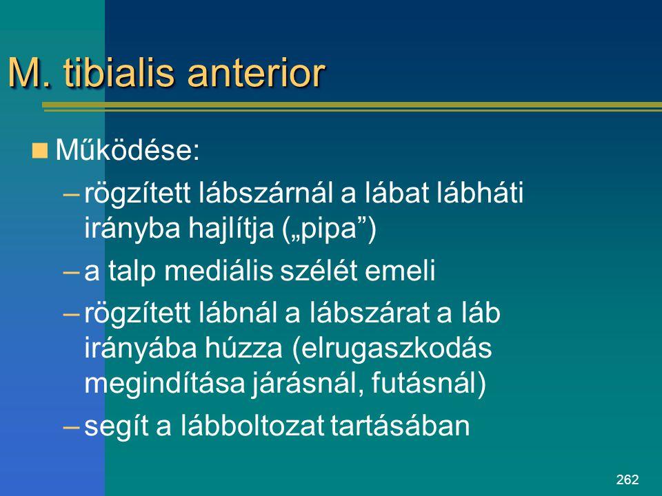 """262 M. tibialis anterior Működése: –rögzített lábszárnál a lábat lábháti irányba hajlítja (""""pipa"""") –a talp mediális szélét emeli –rögzített lábnál a l"""