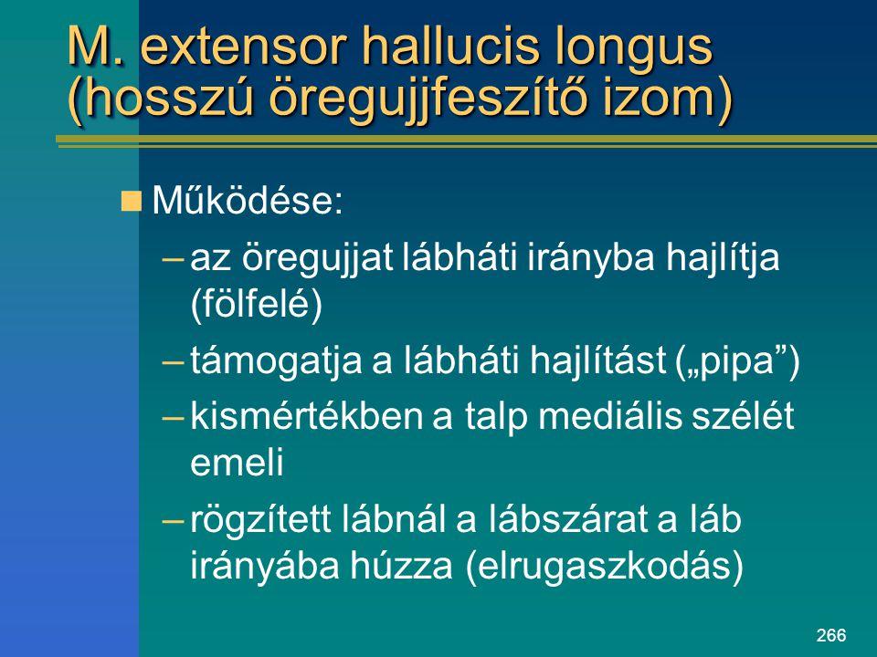 266 M. extensor hallucis longus (hosszú öregujjfeszítő izom) Működése: –az öregujjat lábháti irányba hajlítja (fölfelé) –támogatja a lábháti hajlítást