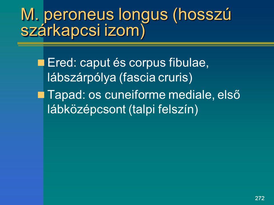 272 M. peroneus longus (hosszú szárkapcsi izom) Ered: caput és corpus fibulae, lábszárpólya (fascia cruris) Tapad: os cuneiforme mediale, első lábközé