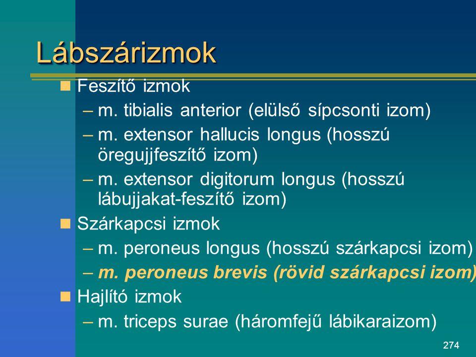 274 LábszárizmokLábszárizmok Feszítő izmok –m. tibialis anterior (elülső sípcsonti izom) –m. extensor hallucis longus (hosszú öregujjfeszítő izom) –m.