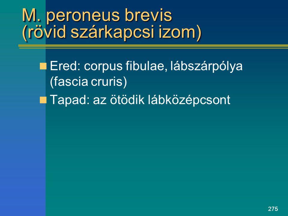 275 M. peroneus brevis (rövid szárkapcsi izom) Ered: corpus fibulae, lábszárpólya (fascia cruris) Tapad: az ötödik lábközépcsont