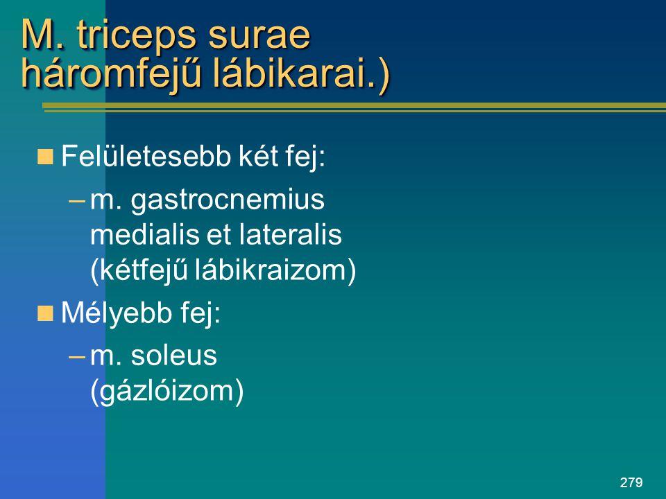 279 M. triceps surae háromfejű lábikarai.) Felületesebb két fej: –m. gastrocnemius medialis et lateralis (kétfejű lábikraizom) Mélyebb fej: –m. soleus