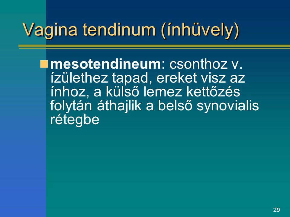 29 Vagina tendinum (ínhüvely) mesotendineum: csonthoz v. ízülethez tapad, ereket visz az ínhoz, a külső lemez kettőzés folytán áthajlik a belső synovi