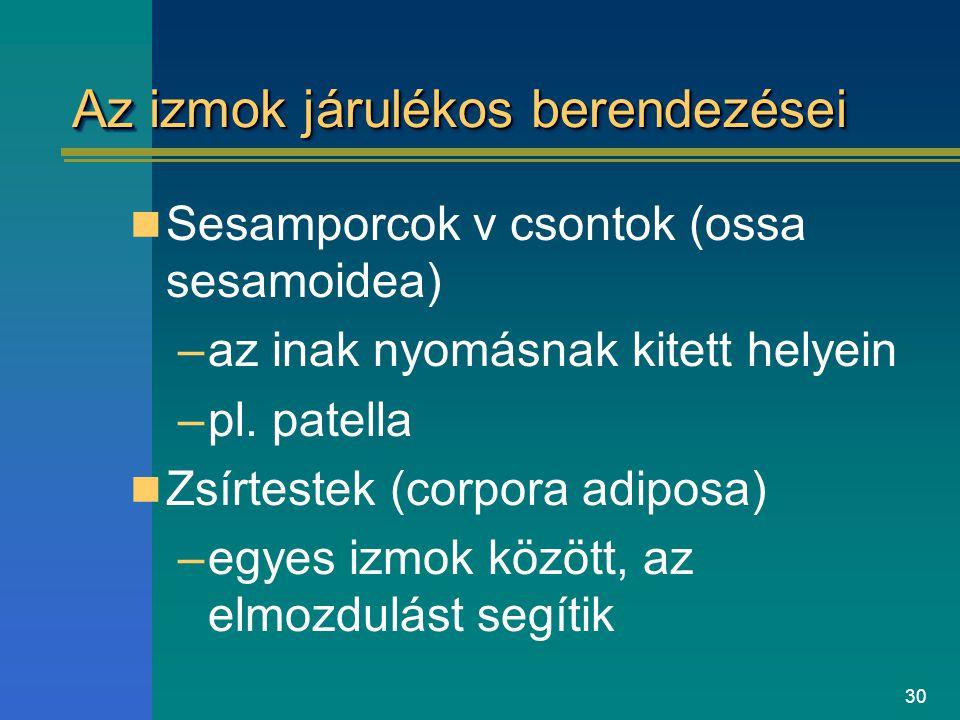 30 Az izmok járulékos berendezései Sesamporcok v csontok (ossa sesamoidea) –az inak nyomásnak kitett helyein –pl. patella Zsírtestek (corpora adiposa)