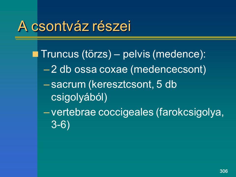 306 A csontváz részei Truncus (törzs) – pelvis (medence): –2 db ossa coxae (medencecsont) –sacrum (keresztcsont, 5 db csigolyából) –vertebrae coccigea