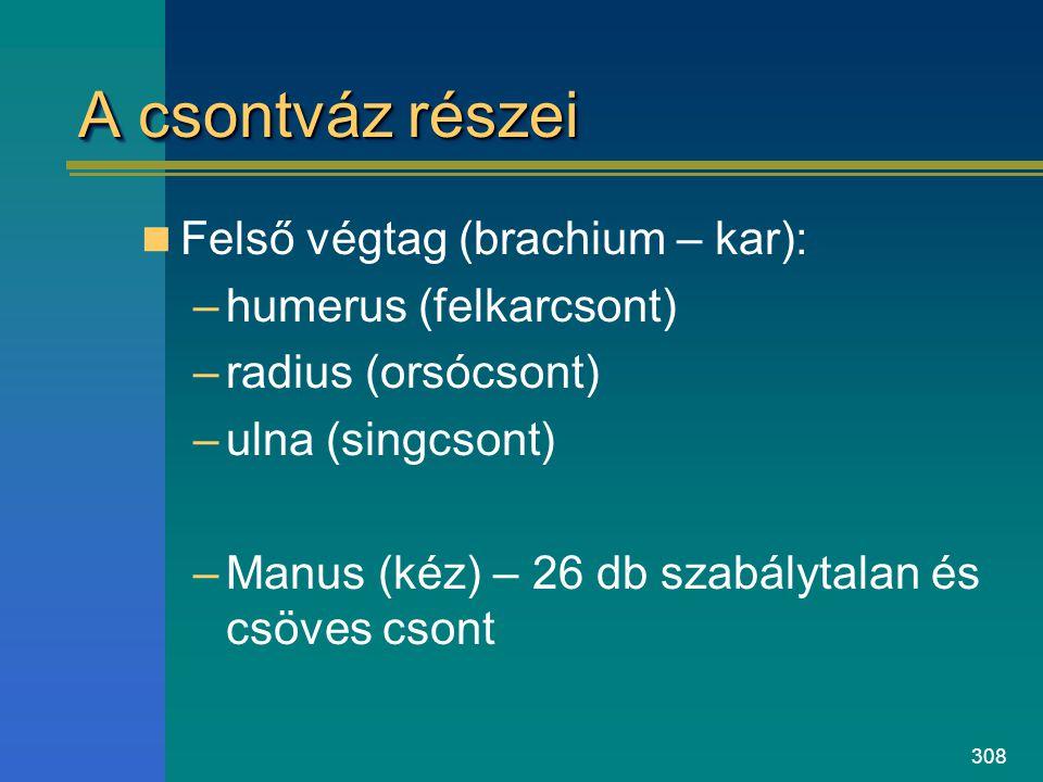 308 A csontváz részei Felső végtag (brachium – kar): –humerus (felkarcsont) –radius (orsócsont) –ulna (singcsont) –Manus (kéz) – 26 db szabálytalan és
