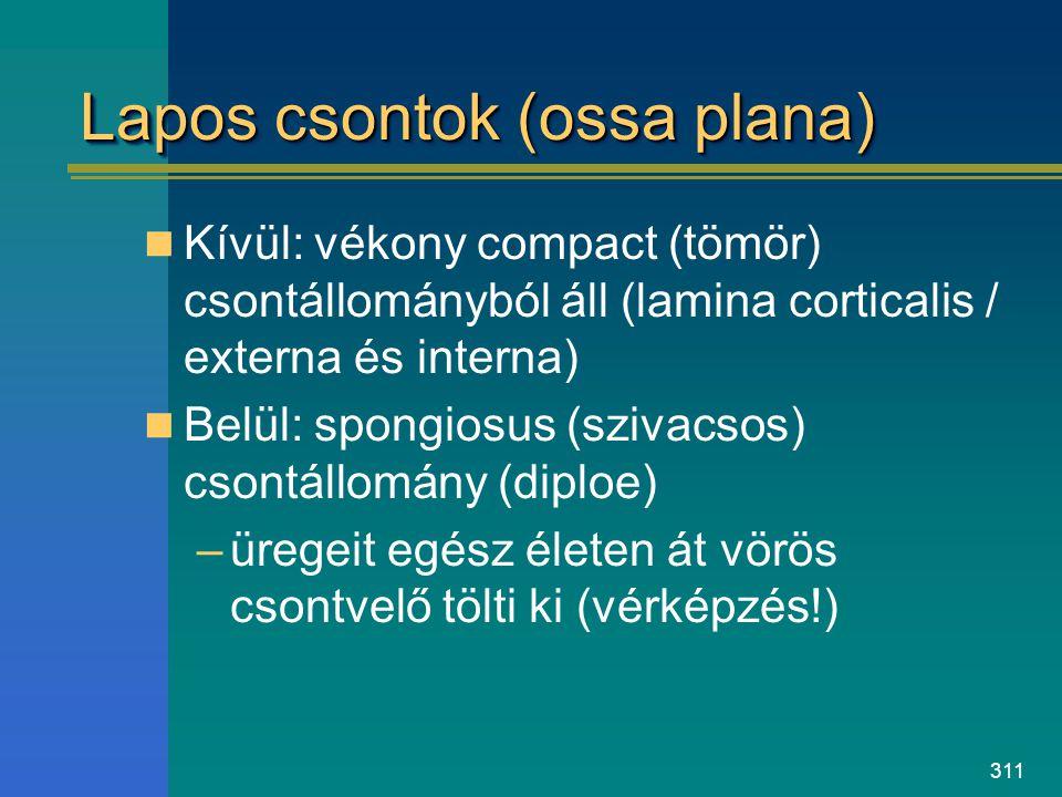 311 Lapos csontok (ossa plana) Kívül: vékony compact (tömör) csontállományból áll (lamina corticalis / externa és interna) Belül: spongiosus (szivacso