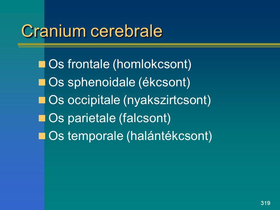 319 Cranium cerebrale Os frontale (homlokcsont) Os sphenoidale (ékcsont) Os occipitale (nyakszirtcsont) Os parietale (falcsont) Os temporale (halánték